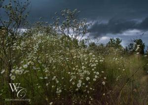 Storm Above the Weeds