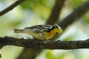 yellowthroatedwarbler (1)