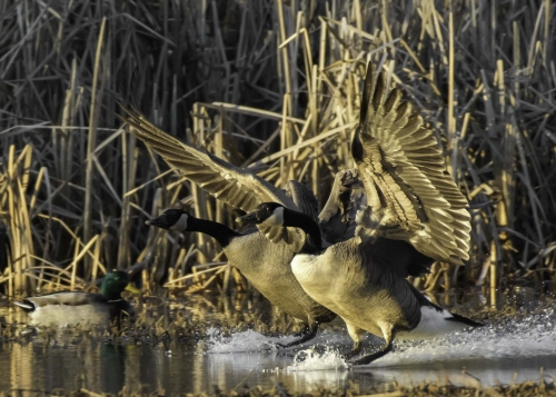 Canada Geese Landing in Cattails