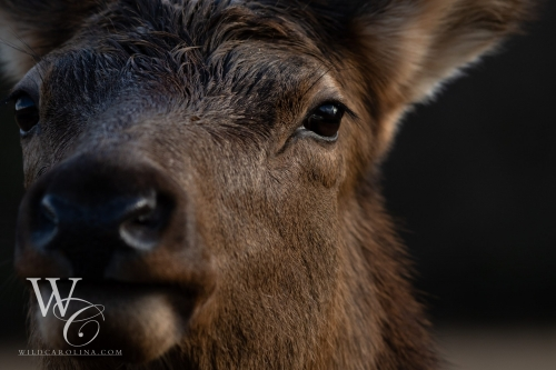 Cow Elk Closeup