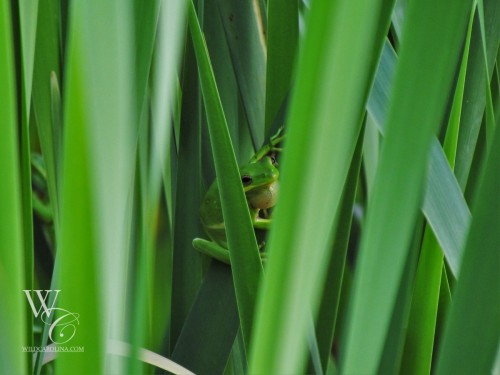 Hidden in the Cattails
