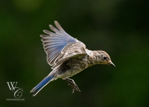 Juvenile Blue Bird