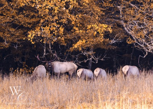 Bull Elk with Harem