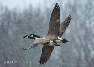 Canada Geese in the Snow