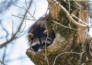 Shy Raccoon
