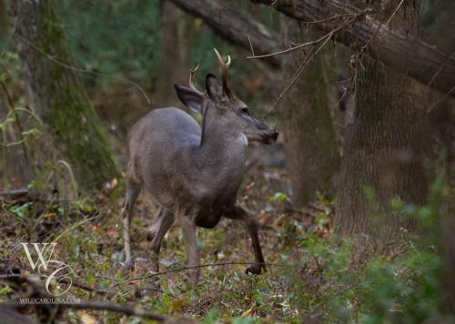 Nervous Buck