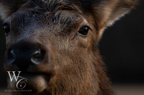 Cow Elk Closeup