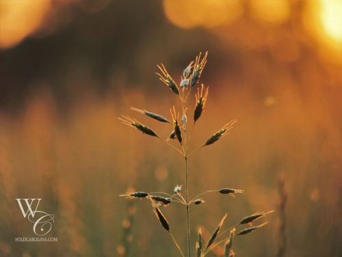 sunsetfescue-2
